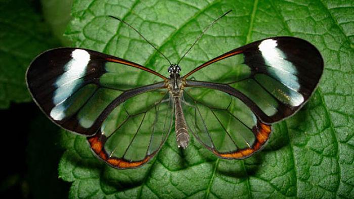El secreto de las hermosas alas transparentes de las mariposas de cristal ha sido revelado