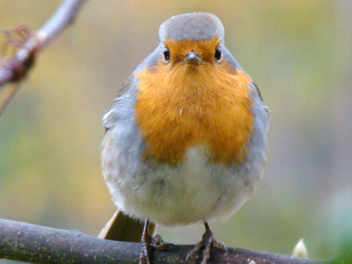 """Científicos encuentran la fuente del """"sentido cuántico"""" en un ave migratoria"""