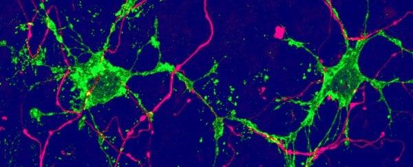 Científicos descubren dos tipos de células nerviosas al activar células madres en ratones