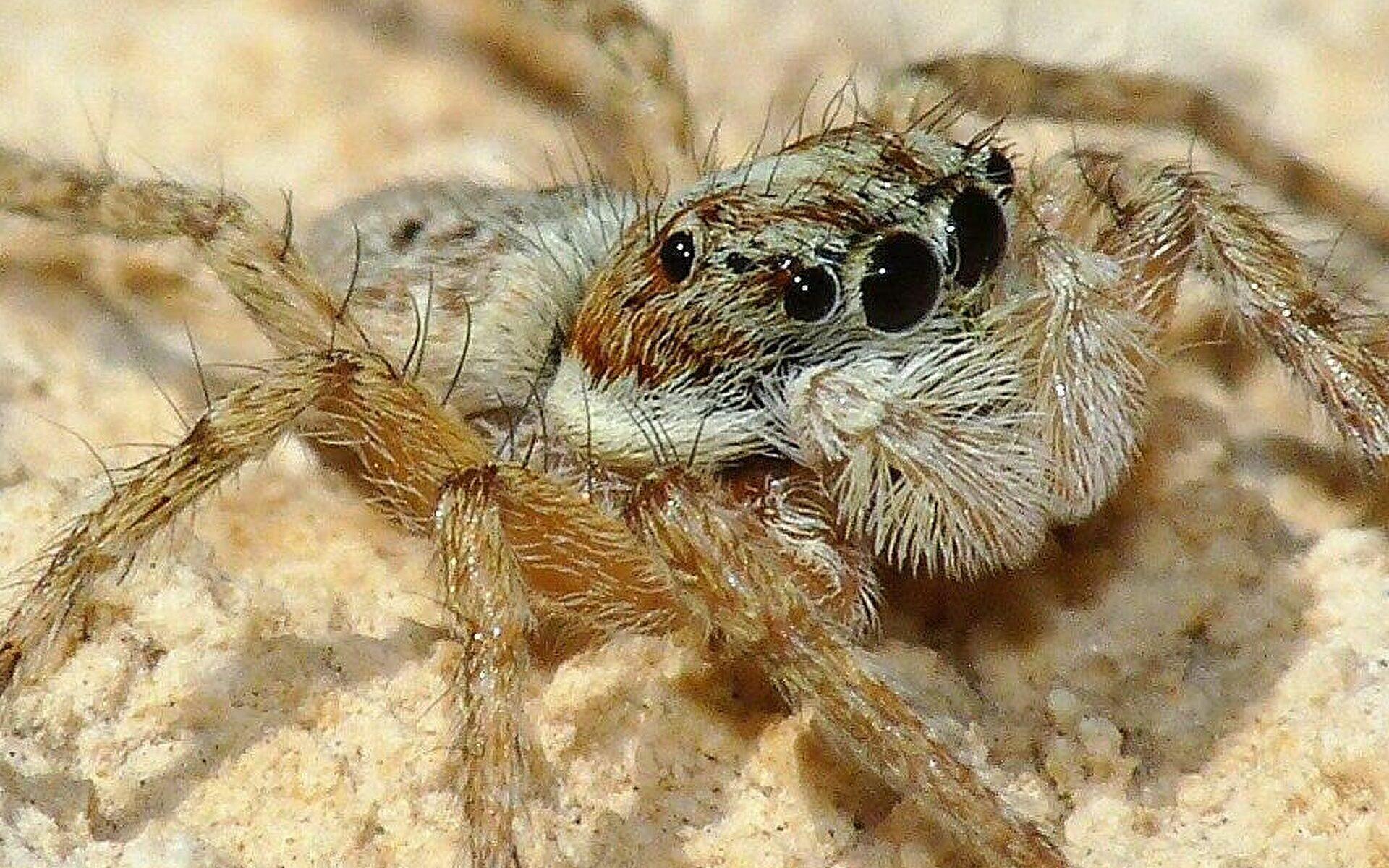 Las arañas saltarinas prueban que las habilidades cognitivas no son exclusivas de los vertebrados