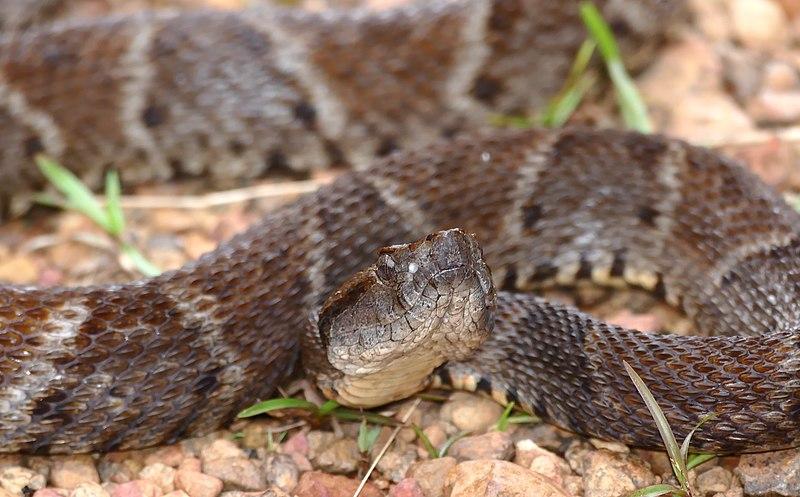 Este pegamento elaborado con veneno de serpiente detiene el sangrado de heridas en segundos