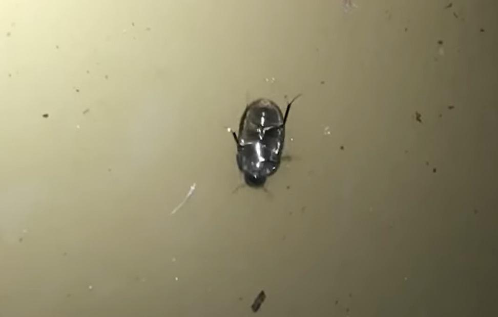 Este alucinante escarabajo puede caminar justo debajo de la superficie del agua [VIDEO]