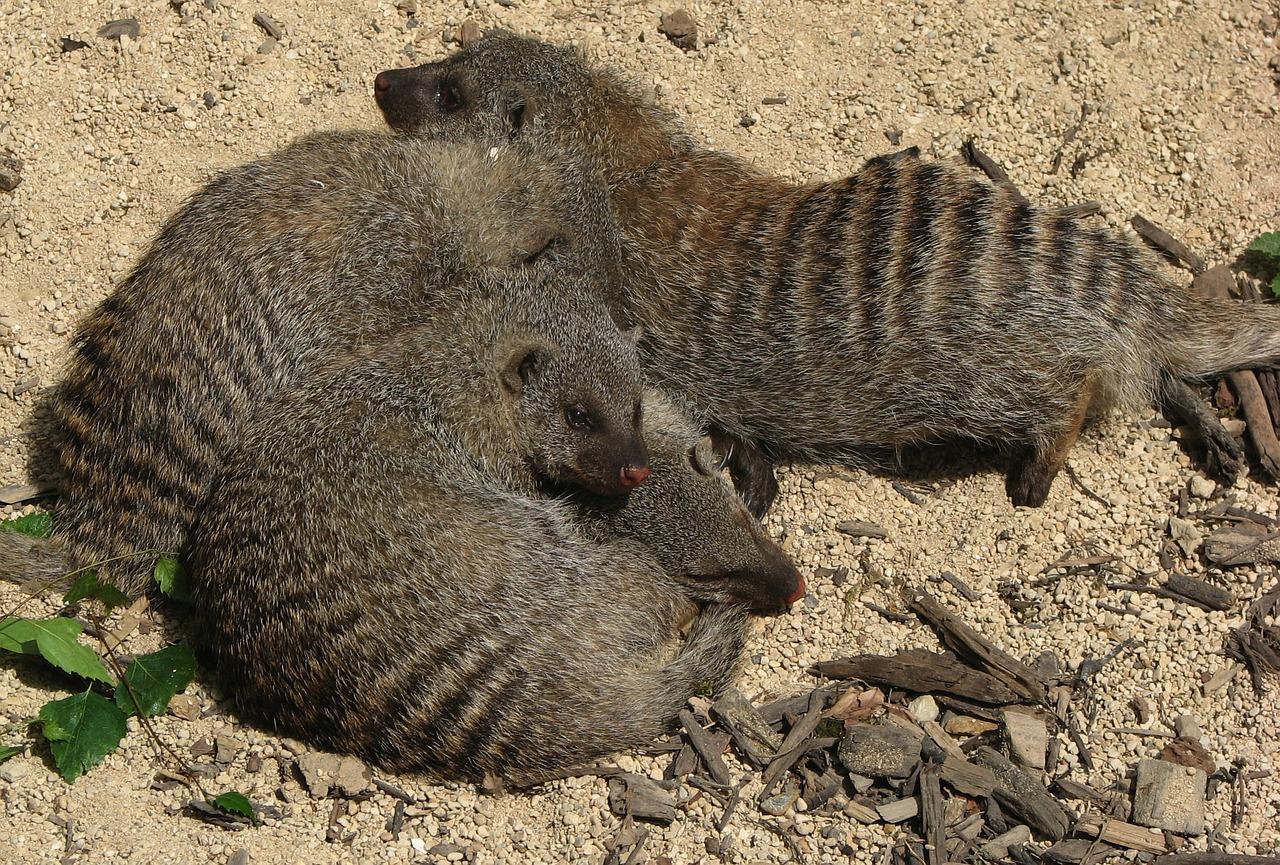 Las mangostas mantienen una «sociedad justa» gracias a que las hembras dan a luz al mismo tiempo