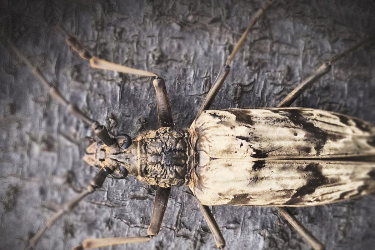 Un escarabajo que vive en áreas volcánicas inspira nuevos materiales de enfriamiento