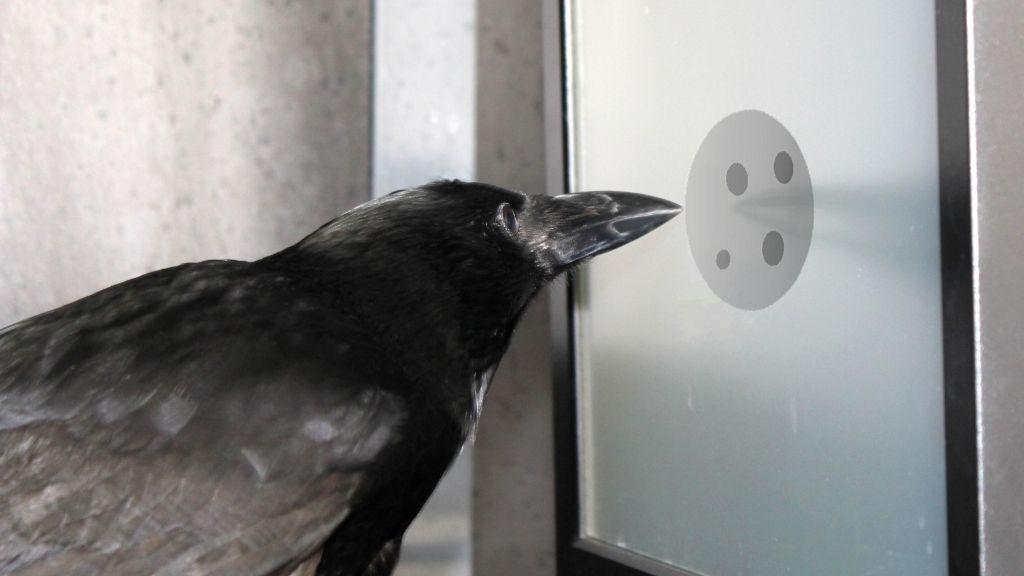 Los cuervos entienden el abstracto concepto del «cero», según nueva investigación