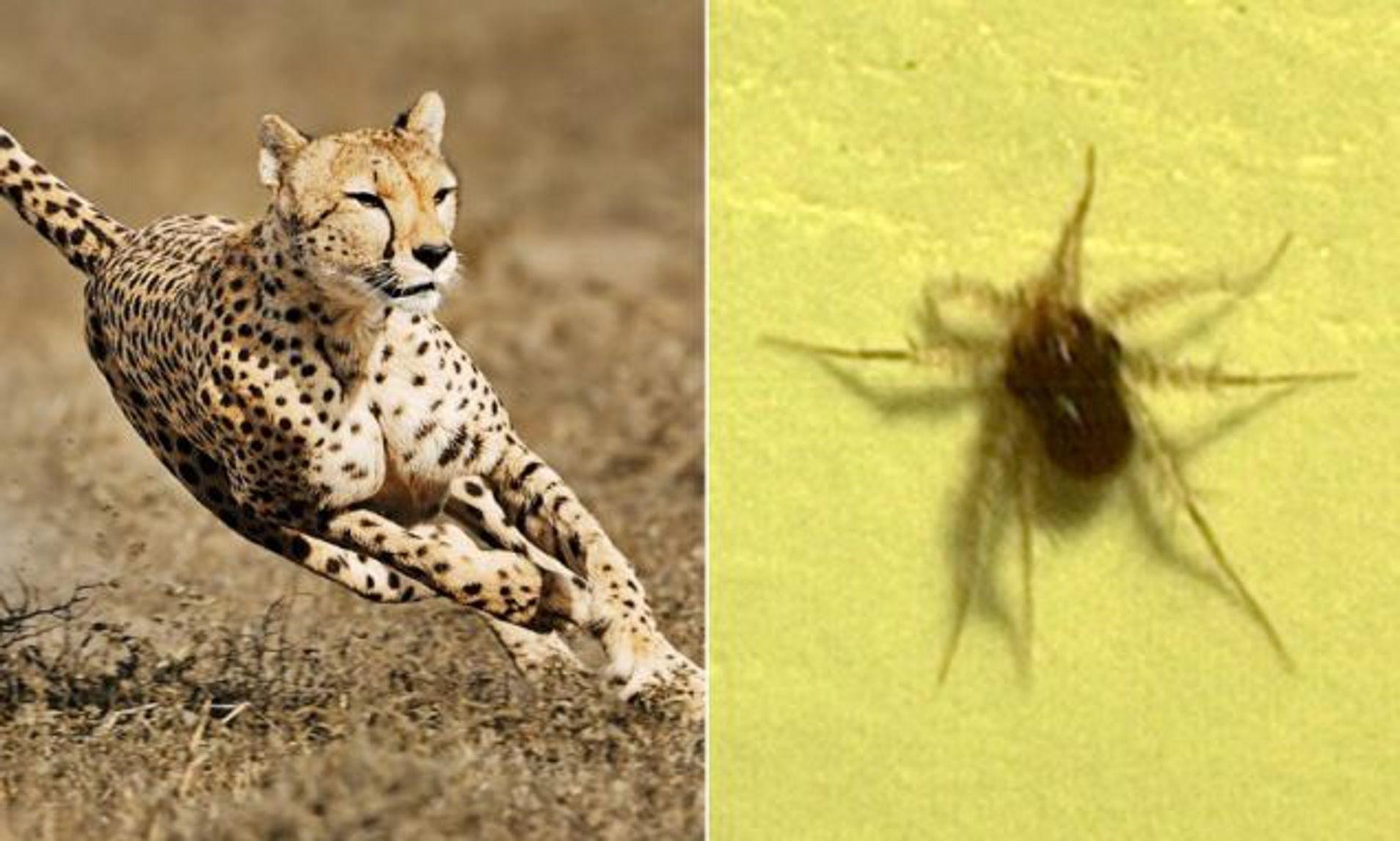 ¿Cuál es el animal más rápido en relación a su tamaño corporal?