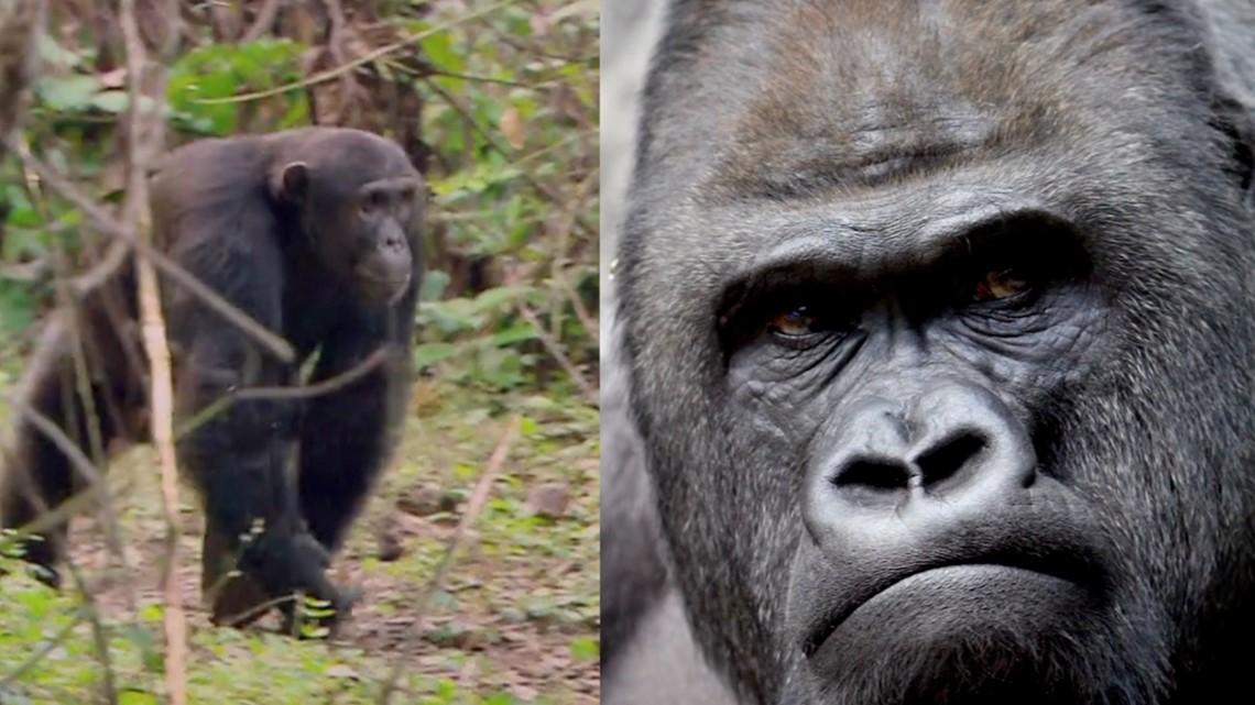 Se ha desatado una guerra entre chimpancés y gorilas en el Parque Nacional de Gabón