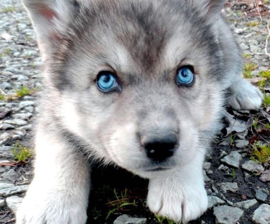 Los perros, a diferencia de los lobos, tienen una habilidad innata para entender a los humanos