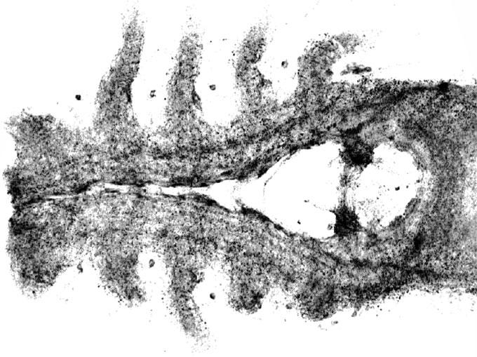 «Uno en un millón»: hallan fósil del cerebro de un cangrejo herradura en excelentes condiciones