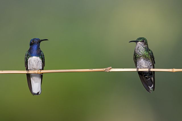 Las colibríes hembras adoptan los colores de los colibríes machos para evitar ser agredidas