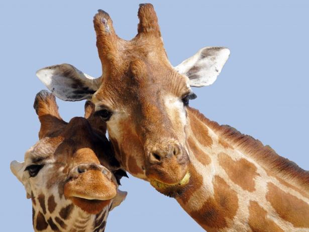 Las jirafas son tan socialmente complejas como los elefantes o las orcas, asegura estudio