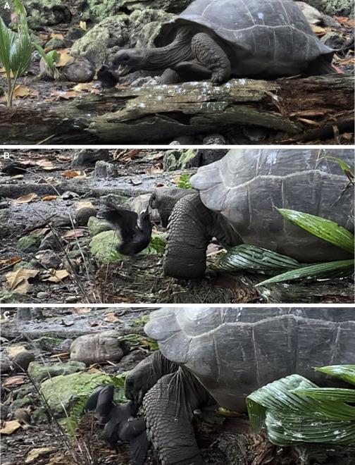 Una tortuga es captada en video cazando y comiendo a un polluelo, algo que se ve por primera vez