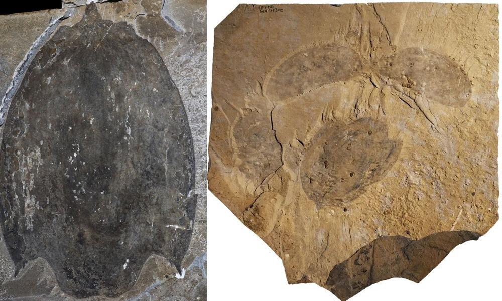 Paleontólogos descubren el fósil «gigante» de un radiodonte desconocido del periodo Cámbrico
