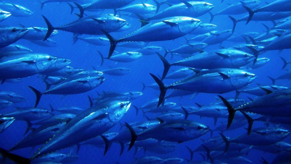 Actualización de la Lista Roja de especies: el atún se recupera pero estamos perdiendo a los tiburones