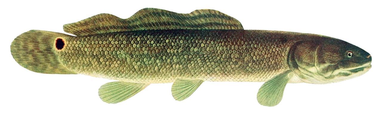 Investigadores se acercan a explicar la evolución de la transición de aletas a extremidades gracias al estudio del genoma de un pez