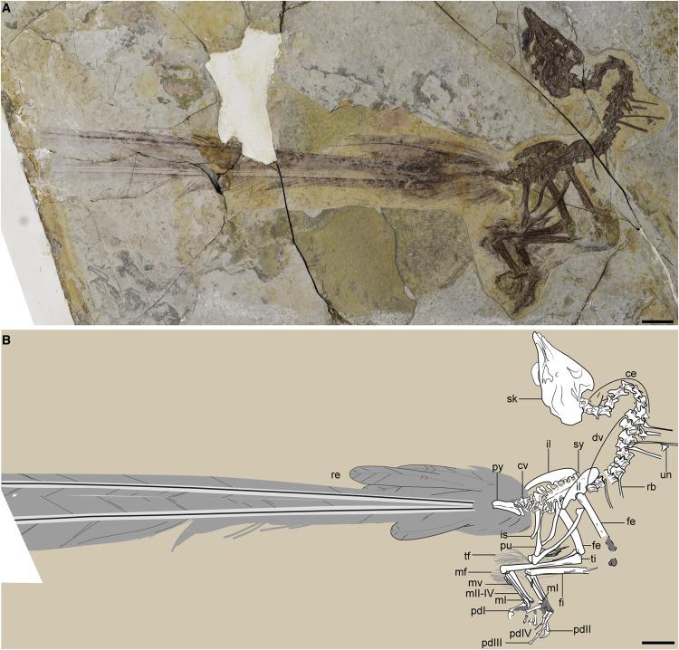 Fósil de 120 millones de años revela a un ave con una ostentosa e inconveniente cola