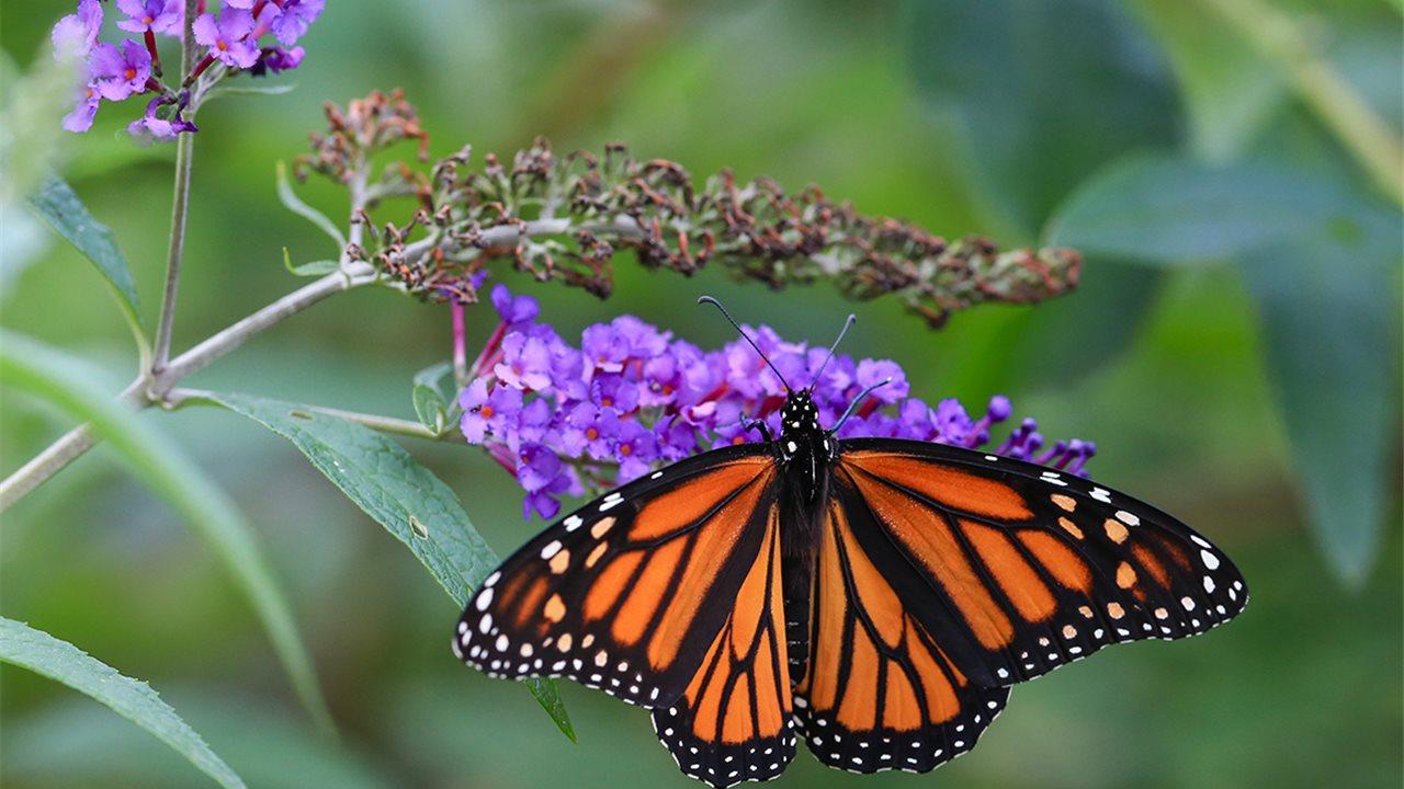 ¿Cuánto realmente suelen vivir las mariposas?