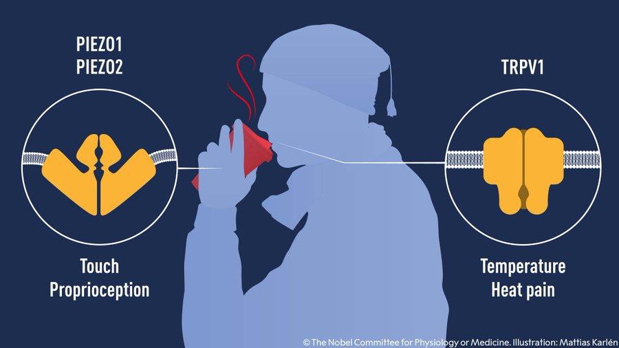 Premio Nobel de Medicina 2021: ¿Qué son los receptores para el tacto y la temperatura?