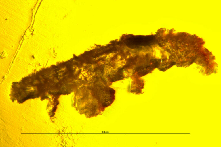 Un tardígrado fosilizado en ámbar de 16 millones de años revela pistas sobre su evolución